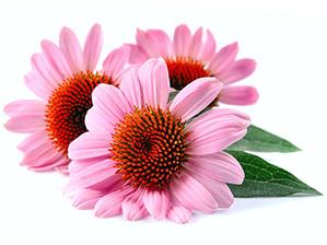 Echinacea_angustifolia.jpg