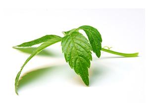 Jiaogulan_pentaphyllum_Fiche_produit_Prescription_Nature.jpg