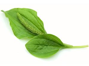 plantain.jpg