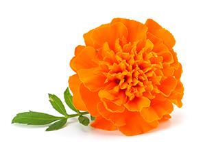 rosier d'Inde.jpg